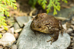 European common toad, bufo bufo outdoor Royalty Free Stock Image