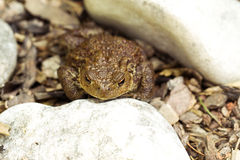 European common toad, bufo bufo outdoor Royalty Free Stock Photography
