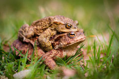 European common toad mating Royalty Free Stock Photos