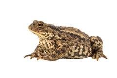 European Common toad on white Royalty Free Stock Photo