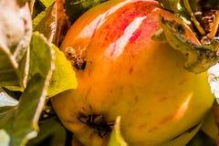 European common wasp Vespula Vulgaris damaging apple in the or. Chard. Macro photo Stock Image