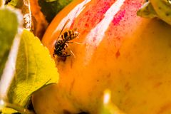 European common wasp Vespula Vulgaris damaging apple in the or. Chard. Macro photo Stock Photo