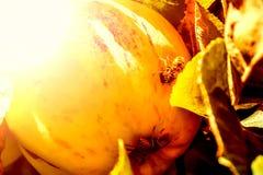 European common wasp Vespula Vulgaris damaging apple in the or. Chard. Macro photo Stock Photos