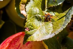European common wasp Vespula Vulgaris damaging apple in the or. Chard. Macro photo Stock Photography