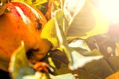 European common wasp Vespula Vulgaris damaging apple in the or. Chard. Macro photo Royalty Free Stock Photo