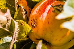 European common wasp Vespula Vulgaris damaging apple in the or. Chard. Macro photo Stock Images