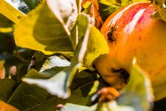 European common wasp Vespula Vulgaris damaging apple in the or. Chard. Macro photo Royalty Free Stock Images