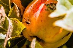 European common wasp Vespula Vulgaris damaging apple in the or. Chard. Macro photo Royalty Free Stock Image