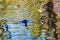 European Coot Duck Reflection Amsterdam Holland Netherlands Stock Images