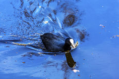 European Coot Duck Singel Canal Amsterdam Holland Netherlands Royalty Free Stock Photography