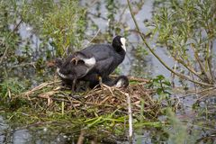 European Coot Fulica atra chicks and parent Royalty Free Stock Photo
