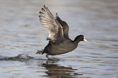 European coot Royalty Free Stock Photography