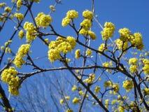 European Cornel flowering branches Stock Image