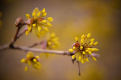 European Cornel tree bossom flowering Stock Photography