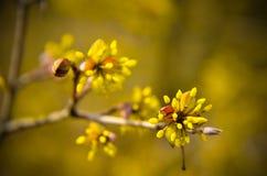European Cornel tree bossom flowering Royalty Free Stock Photography