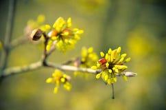 European Cornel tree bossom flowering Stock Images