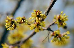 European Cornel tree bossom flowering Royalty Free Stock Photo
