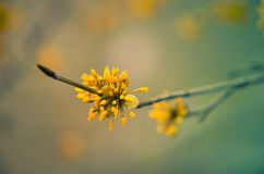 European Cornel tree bossom flowering Royalty Free Stock Images