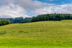 European cows on green mountain under forest Royalty Free Stock Image