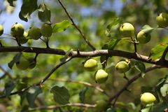 European crab apple Stock Photography