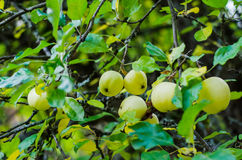 European crab apples. Crab apples riping in a tree- northern forest Royalty Free Stock Photo