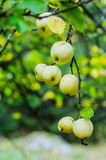 European crab apples. Wild sour apples on a branch Stock Photo