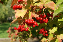 European Cranberrybush Stock Photography