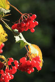 European Cranberrybush Stock Images