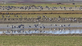 European cranes overwinter each year in the Laguna de Gallocanta Stock Image