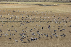 European cranes overwinter each year in the Laguna de Gallocanta Stock Images