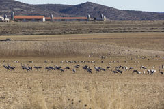 European cranes overwinter each year in the Laguna de Gallocanta Stock Photography