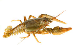 European crayfish Stock Image
