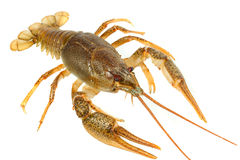 European crayfish royalty free stock photos
