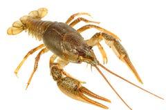 European crayfish Royalty Free Stock Photos