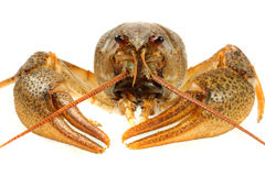 European crayfish Stock Photography