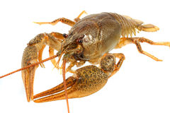 European crayfish Royalty Free Stock Images