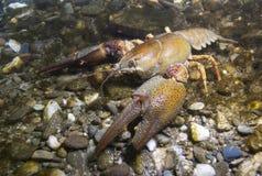 Free European Crayfish Astacus Astacus Stock Image - 107484571