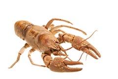 European crayfish - Astacus astacus Royalty Free Stock Images