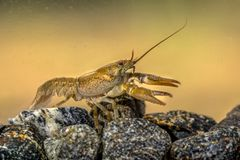 Free European Crayfish On Stoney Riverbed Royalty Free Stock Photography - 129679787