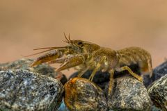 European crayfish on riverbed. European crayfish & x28;Astacus astacus& x29; walking in river on rocky riverbed Stock Photography