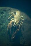 European crayfish (Astacus astacus). Royalty Free Stock Photos