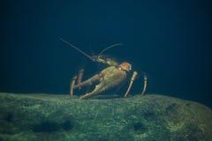 European crayfish (Astacus astacus). Stock Image
