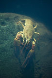 European crayfish (Astacus astacus). Royalty Free Stock Photography
