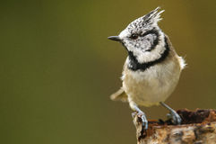 The European Crested Tit Royalty Free Stock Photography