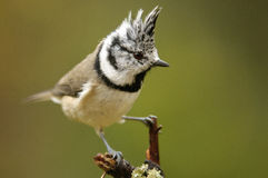 The European Crested Tit Stock Photo