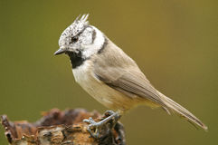 The European Crested Tit Stock Photography