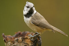The European Crested Tit Stock Images