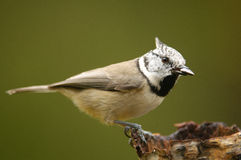 The European Crested Tit Royalty Free Stock Photo