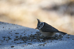 European crested tit Royalty Free Stock Photo