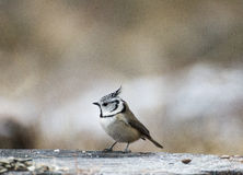 European crested tit Stock Images
